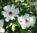 ポット植えの苗をお送りします!超レア! 原種ボタン(牡丹)ピオニア・オスティー実生2年生苗...