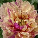 性質強靭で栽培容易!ハイブリッドシャクヤク(ボタンシャクヤク)'ロリポップ'開花見込株(3芽付)1株