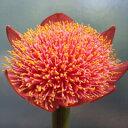 南アフリカ原産の珍花!ハエマンサス・ロゼウス 球根 1球