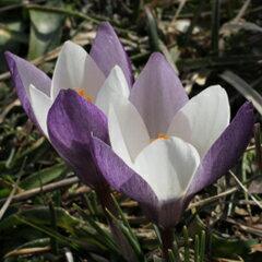 春咲き種!クロッカス・アレクサンドリー球根 1球