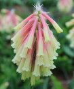 早春に咲く大ぶりな花姿!ベルセミア'ロザルバ'球根1球