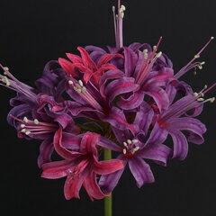 整った花姿、見事な花色! オリジナル品種!ネリネ'古帛紗(こぶくさ)' 球根 1球