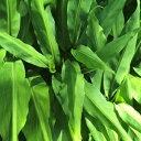 ミョウガの根(地下茎)10本送料込