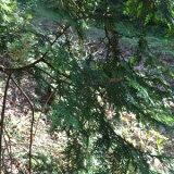 檜の葉5枚送料込