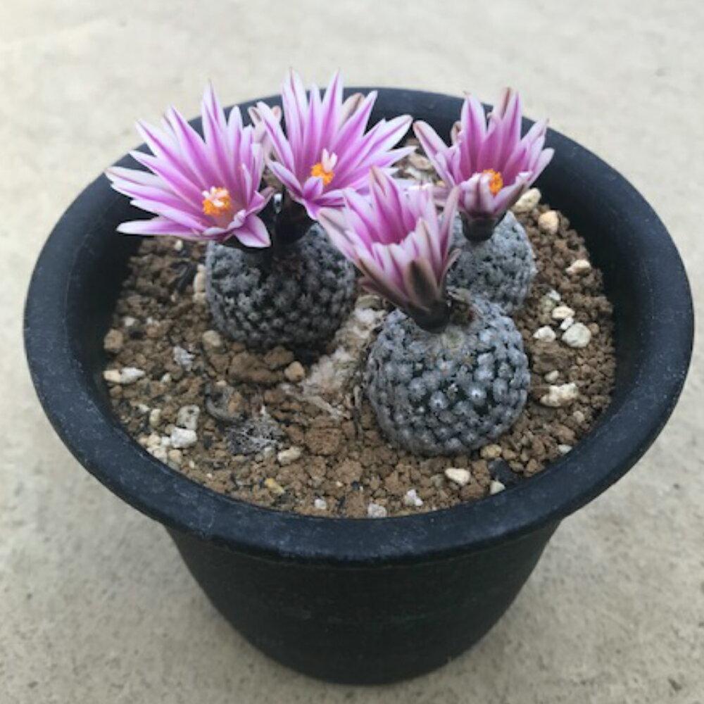 【ペレキフォラ属 バラ丸】 4号鉢 サボテン 多肉植物 希少咲き終わった花がらは取れる場合がございます