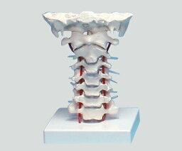 頸椎モデル 180×160×125