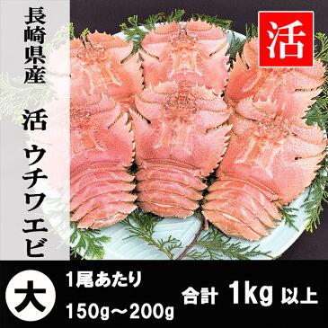 長崎県産 活ウチワエビ 大 1kg以上【お買い物マラソン】 【お正月・お歳暮】ギフトにもどうぞ。 伊勢海老に匹敵するおいしさ