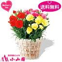 【送料無料】カーネーション鉢植え(3色バラエティーミックス)【日付指定不可】【母の日までにお届け】