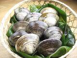 【はまぐり】三重 桑名 蓄養 活 蛤 (ハマグリ) 大サイズ 300g (8から12個)選りすぐりの 活はまぐり をお届け! 活ハマグリ は、お祝い事には、欠かせません。