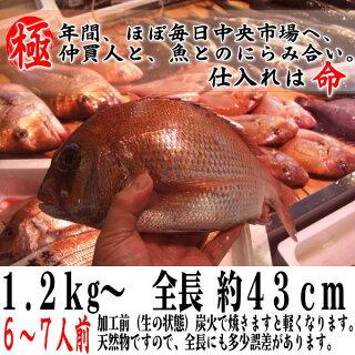 お食い初めたい焼き鯛、お食い初め等祝い鯛に最適。(淡路・明石、国産天然真鯛)