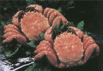 [Boiled hairy crab about 600 g × 2 tail]