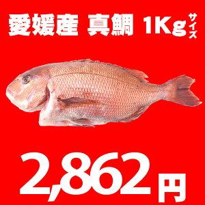 【送料無料】活け〆の真鯛を丸ごとお届け!1kg前後 ◆愛媛を筆頭に最良の鯛をお届けします!(...