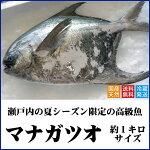 【送料無料】天然マナガツオ瀬戸内産(香川県)約1キロサイズ◆水揚げされたばかりの鮮魚を直送します(クール冷蔵便:水揚げがあり次第の出荷)まながつお、真魚鰹