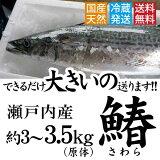 サゴシ 鰆 さわら 瀬戸内 香川県産 天然 サゴシを一本丸ごと(3枚おろし可)直送します!約3kg〜3.5kgサイズ(原体)【鮮魚】 ※ サワラ の水揚げが有り次第の限定商品となります。 西京焼き 天ぷら等 送料無料