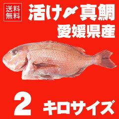 活け〆の真鯛を丸ごとお届け!2kg前後 ◆愛媛を筆頭に最良の鯛をお届けします!(養殖:冷蔵便で…