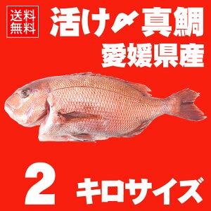 【送料無料】 活け〆の真鯛を丸ごとお届け!2kg前後 ◆愛媛を筆頭に最良の鯛をお届けします!(...