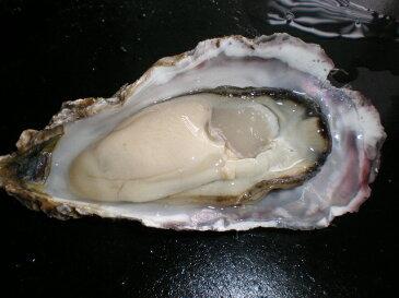 北海道厚岸産 殻付き 生牡蠣 生食用 15個入り