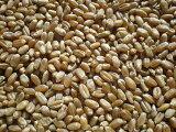 有機栽培(オーガニック)十勝本別産 有機小麦きたほなみ 1Kg