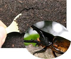 ♀は爆産!幼虫がプリッと大きく育つ!★ストックに便利!★カブトムシ用の土!カブトマット!...