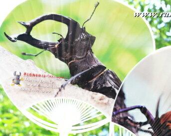 昆虫雑貨>オリジナル クワガタ カブトムシ うちわ