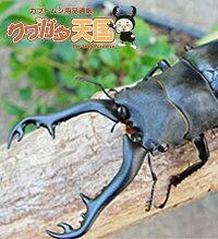 ◆「ギラファノコギリワガタ幼虫:フローレス産1頭」※オス、メス判別していません