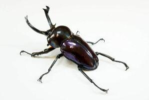 紫紺ニジイロクワガタペアオス55mmUP(クイーンズランド産)累代CB