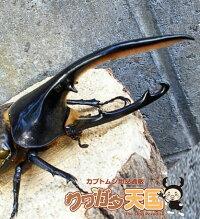 H.オキシデンタリス幼虫エスメラルダス産累代CB※オスメス判別していません。(虫)