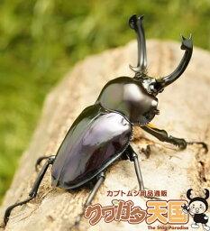 紫紺特殊系ニジイロクワガタペアB品オス55mmUP(上翅短い・ツノずれ)・A品メス(クイーンズランド産)累代CB(虫)
