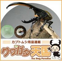 カブトムシ幼虫飼育の完熟マット10Lに、H.ヘラクレス幼虫1頭と1400ccクリアボトル1個付飼育セット!オス、メス判別していません大きさ1.2令【グアドループCB】