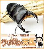 【緊急追加販売】昆虫ランキング1位獲得商品! お試し特価!◆「オオクワガタ幼虫1.2令 1頭」+菌糸ビン(菌糸瓶)(E-800)セット ※オス、メス判別していません10P12May11