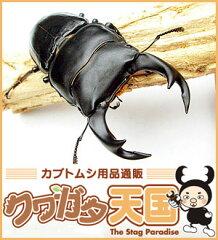 初心者でも安心!オオクワガタ幼虫飼育が簡単に出来る!【緊急追加販売】昆虫ランキング1位獲得...
