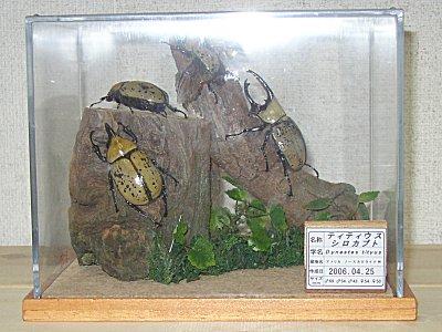 (017)ティティウスシロカブトムシ 昆虫立体標本:オオクワ京都昆虫館