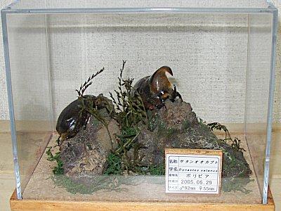 (022)サタンオオカブト:オオクワ京都昆虫館