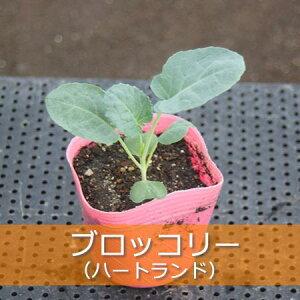 プロの農家さんが使う京都は淀の野菜苗! 高品質のため、育ちや収量が違います!秋冬【苗】ブロ...