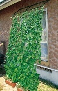 【送料無料】【お試し商品】【お買得商品 】緑のカーテン アーチ de 立掛けW1800 伸縮1.9〜3.4m (1本セット)緑のカーテン用タネ、5種より2袋選んでください。グリーンカーテンで省エネ効果大!