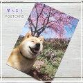 柴犬まるのポストカードインスタグラムで世界的に人気の柴犬「まる」春の風景とまるの表情に癒されます