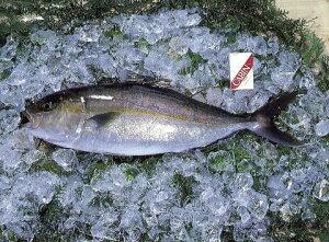 【鹿児島の錦江湾】カンパチ(かんぱち) (約3.5kg〜4kg)