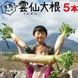 【長崎県産 送料無料】雲仙 だいこん 5本 【 大根 葉付き 葉つき だいこん おでん 長崎 】