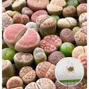 多肉植物の栽培キット