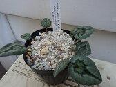原種シクラメン 横山園芸 ヘデリフォリウム