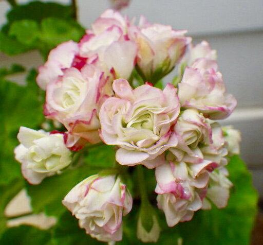 バラ咲ゼラニウムエンゼルブーケ