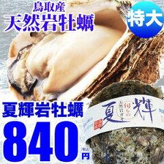 天然岩牡蠣(なつき)12個以上購入で送料無料!天然岩牡蠣 なつき 牡蠣(活)特大400〜600g前後 鳥...