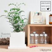 NEW!! シンプル白色陶器鉢に植えた シマトネリコ バルコニスト 敬老の日 ポイント消化 観葉植物