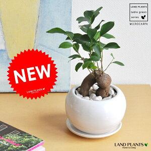 精霊の樹 がじゅまる 白色丸型陶器に植えた ガジュマル ギフトに最適ITEMを♪【楽ギフ_のし…