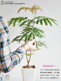 【 観葉植物 】【送料込】 table green series 白色スリム陶器鉢に植えた エバーフレッシュ【母の日ギフト】