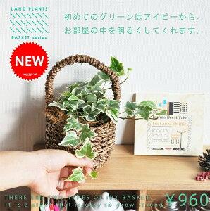 初めてのグリーンはアイビーから♪[観葉植物アイビー][籐][カゴ][かご][植物プレゼント][植物ギ...