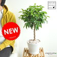 new!! ベンジャミン 大人気のトピアリー仕立て 白色デザイン陶器に植えたフィカス・ベンジャミナ ゴム ゴムの木【母の日ギフト】