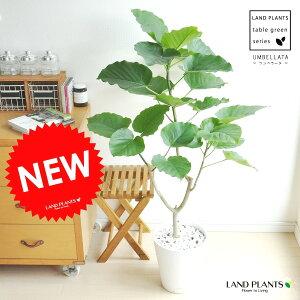 new!! ハートリーフ ウンベラータ 白セラアート鉢に植えたフィカス・ウンベラ…
