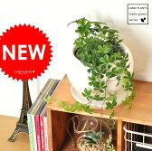 new!! シュガーバイン 白色丸型陶器に植えた 5枚葉の美しい植物 パルテノシッサス【母の日ギフト】