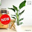 new!! オーガスタ アジアングリーン 白セラアート鉢に植えた ストレリチア・ニコライ 美しい樹形♪【母の日ギフト】